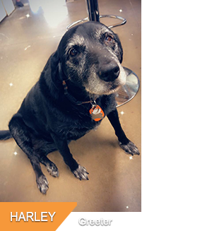 Harley, Shop Dog & Greeter at Hogtown Cycles